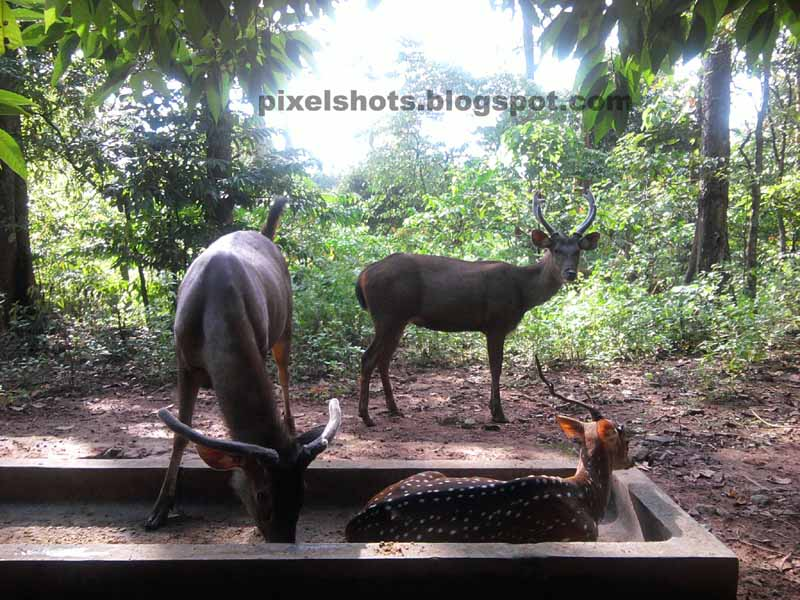 Deers in deer rehabilitation park of thenmala-part of eco tourism project of thenmala,sambar deer,spotted deer,barking deer