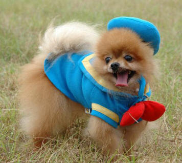 Pomeranian the Small Dog