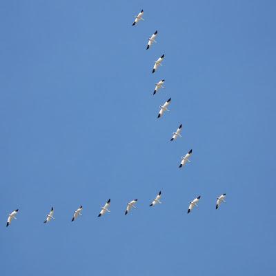 Sense of Geese