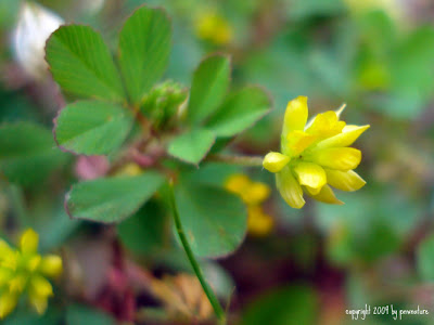 Clover flower head more or less spike like flowers bright yellow becoming brown and reflexing downward pacific northwest flowers mightylinksfo