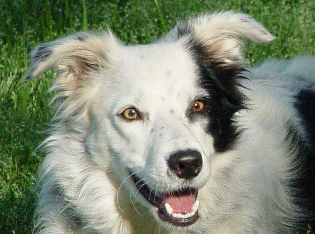 Worlds Smartest Dog Breeds Border Collie | Dog Breeds Picture