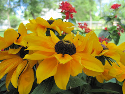 Indian Summer Black Eyed Susans