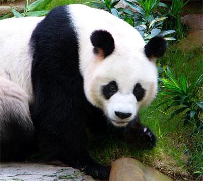 SaraRose894: Chow Chow Panda