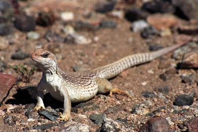 the Desert Iguana