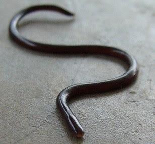 Reptil mania - Ramphotyphlops,The world's smallest snake