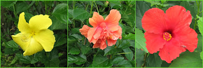 Photos of the hibiscus blossoms.