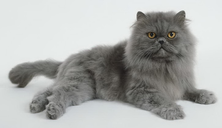 Guardian Angel Cats About Persians