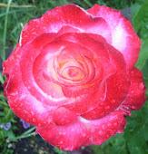 Roses by Jasmin McIntosh