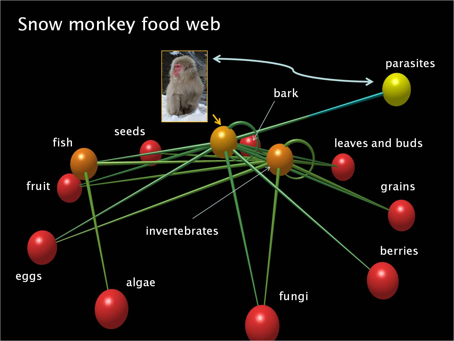 What is the spider monkey's food chain?
