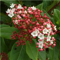 Βιβούρνο Viburnum tinus