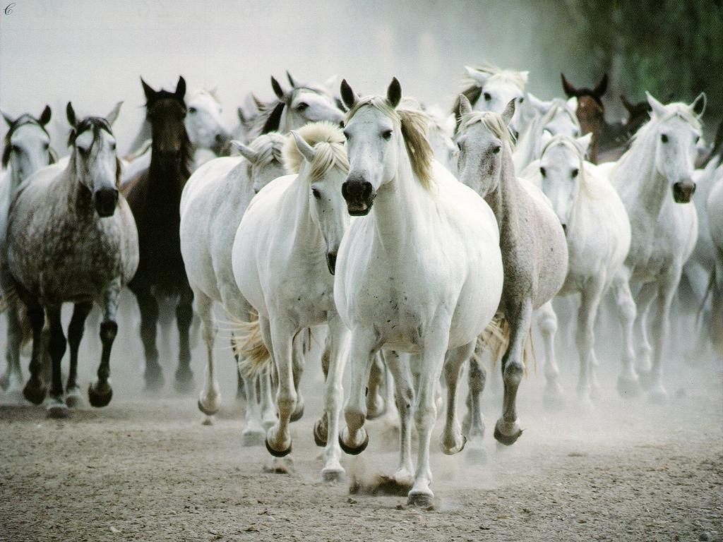 http://1.bp.blogspot.com/_RQ4PHVEdvkA/S89ESrDR81I/AAAAAAAAAB4/5TPlPO6Ku4Y/s1600/chevaux-sauvages-blanc.jpg