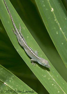 Click for larger image of green lizard