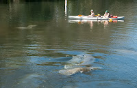 Click for Larger Image of Manatee Love