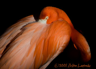 Click for Larger Image of Flamingo