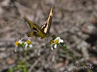 Click for Larger Image of Giant Swallowtail