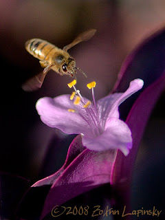 Click for Larger Image of Bee and Flower