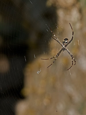 Click for Larger Image of Silver Argiope (Argiope argentata)