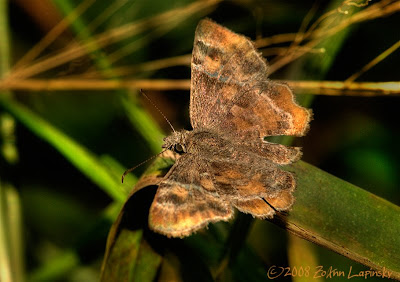 Click for Larger Image of TexasPowderedSkipper Systasea pulverulenta