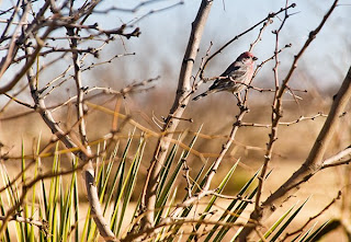 Click for Larger Image of Finch in the Desert