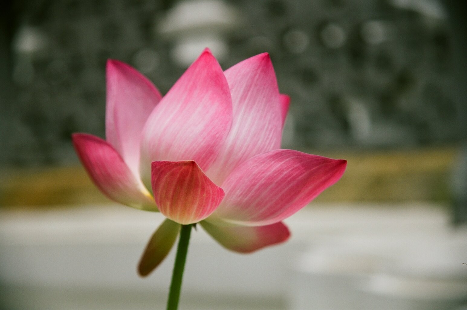 Media Lotus Flower Wallpapers High Quality And Wide Screen