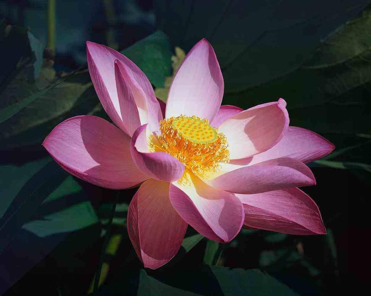 Lotus The Flower