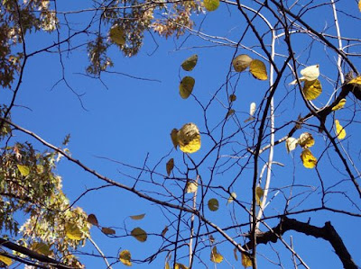 Yellow leaves against azure sky.
