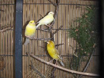 Planet Kenari: Jenis / Tipe Burung Kenari