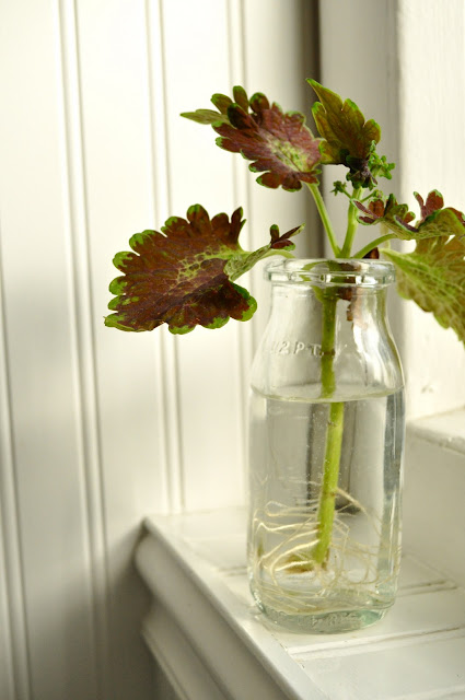 Once coleus has roots you can transplant it to soil
