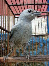 O que fazem com nossos Pássaros