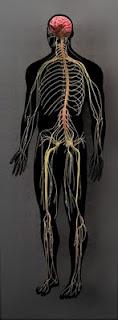 Merkezi ve Çevrel Sinir Sistemi