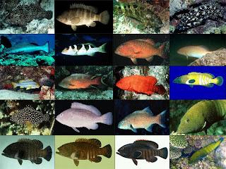 Akuakultur: Jenis-jenis Ikan Kerapu di Perairan Indonesia