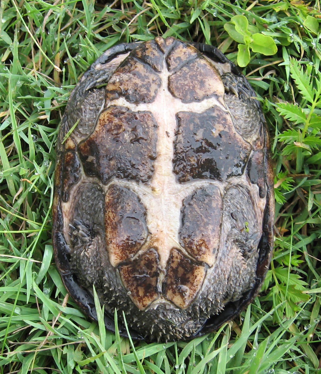how to make a turtle come out of its shell - photo#22