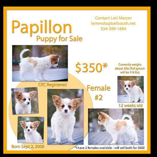 the mercer family blog papillon puppies for sale