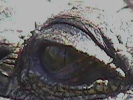 L'oeil du Croco