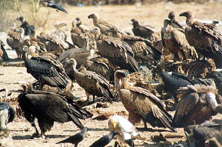 Vulture  Wikipedia