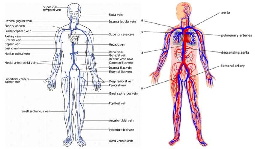 Gallery For gt All Veins In The Body