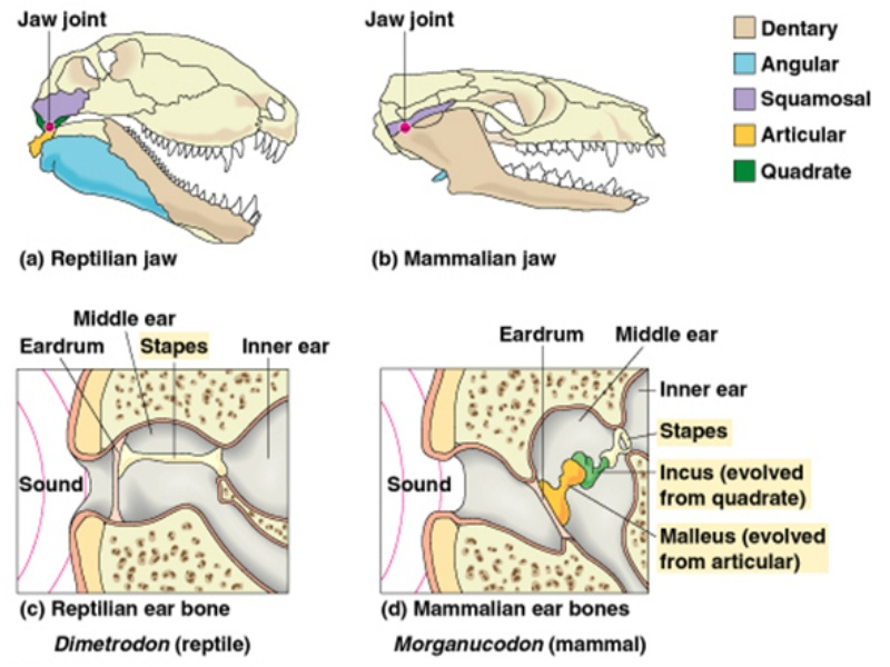 Mammals 3 Middle Ear Bones Bigking Keywords And Pictures