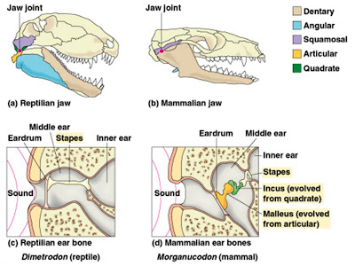 Incredible tales of dental evolution part i the story of how the b mammalian jaw formed between the dentary and squamosal bones c reptilian middle ear consisting of only the stapes ccuart Gallery