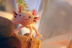 Pictures of axolotls