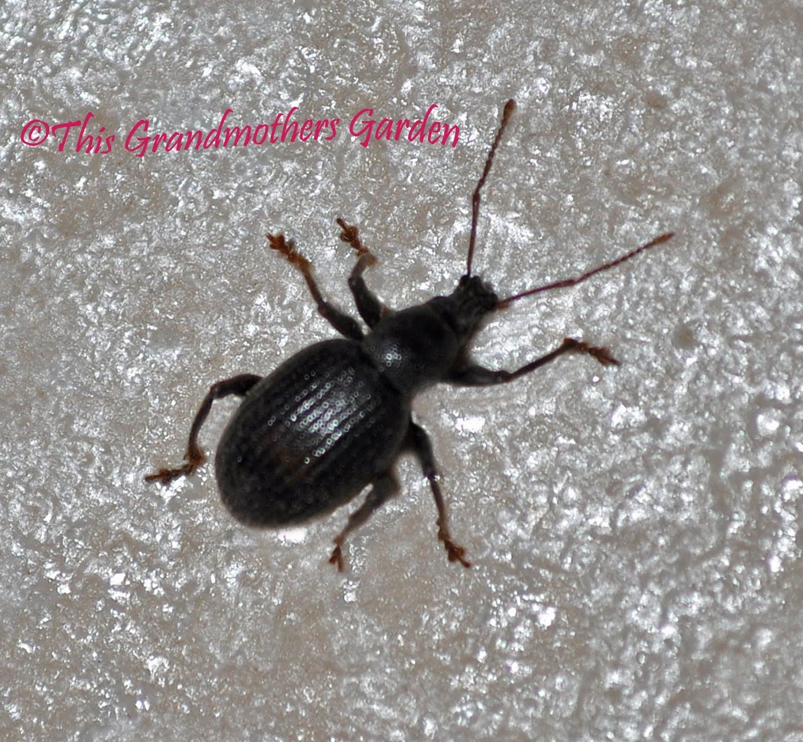 Weevils In Kitchen Cabinets