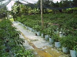 Kebun ku