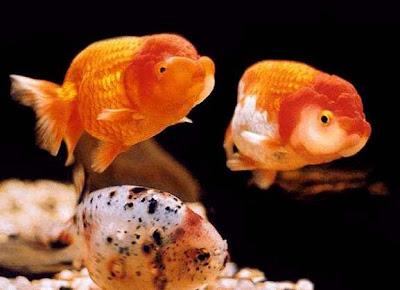 peces ornamentales mas peces On peces ornamentales goldfish