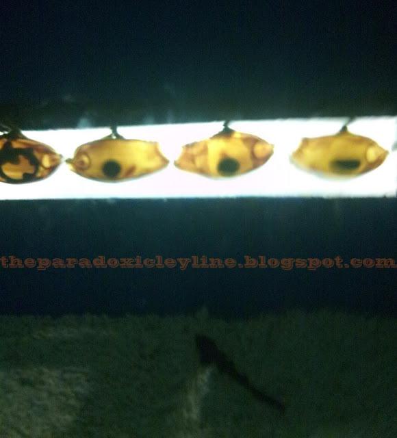 Fish eggs in Manila Ocean Park