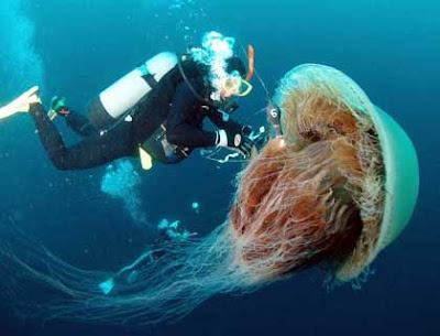 tattoos of jellyfish. Nomura#39;s Jellyfish | Giant