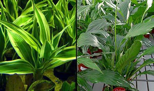 de este tipo de plantas falsas espatífilo drácena cordyline