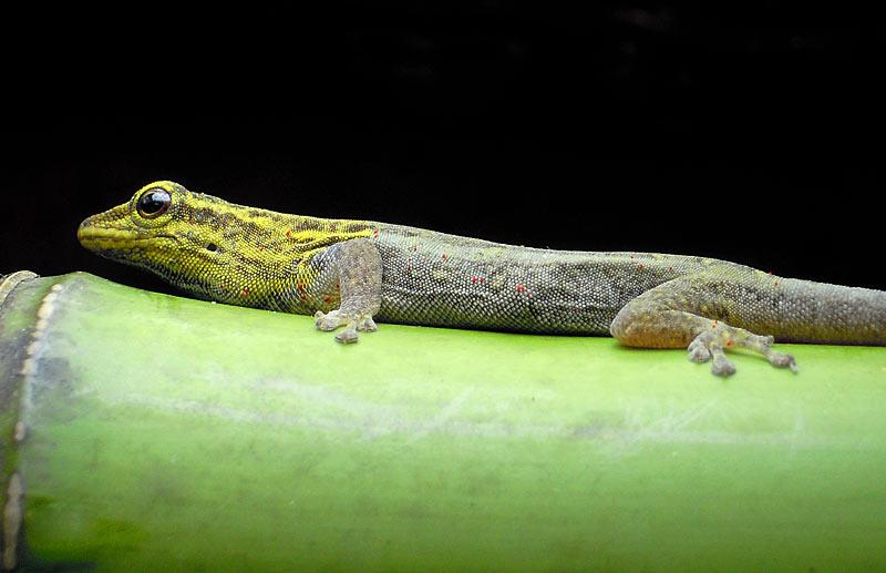 Kaloula iniciaci n a los geckos diurnos - Como acabar con los acaros ...