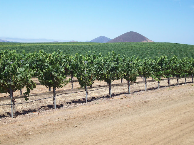 ENDLESS GRAPE VINES IN EDNA VALLEY