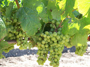 CHARDONNAY GRAPES BASKING iN THE EDNA VALLEY SUN