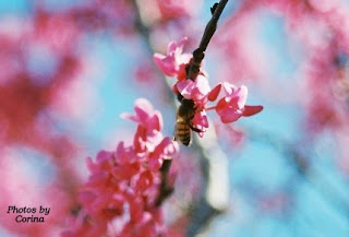 Bee in Pink Crepe Myrtle