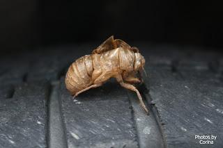 Cicada Husk on Tire